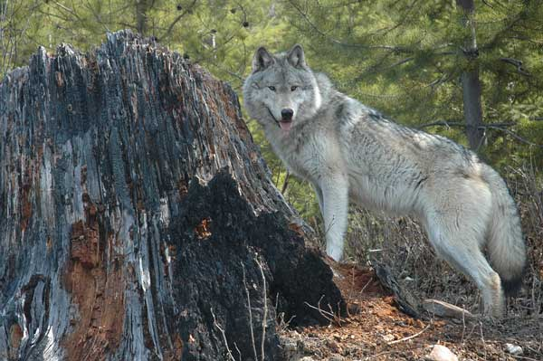 Wolf-Collared-in-Skagit-County-Pt-1