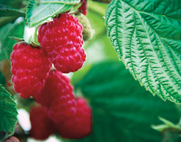 Raspberries-Are-Healthy-Pt-2